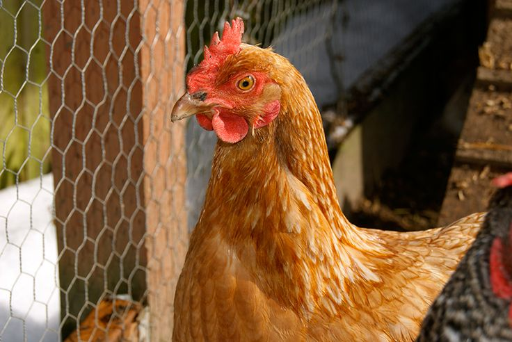 The temptation to provide supplemental heat to your flock could be fatal. Here's are some alternatives to keeping your chickens cozy this winter.