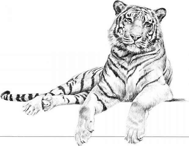 tiger pencil drawing dogs animal dog lion leopard drawings simple easy draw texture sketches sketch face panther realistic getdrawings hunting
