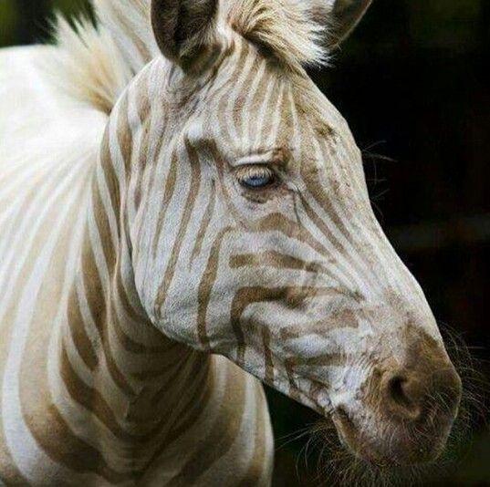 Nadir görülen bir zebra,mavi göz sarı çizgiler.