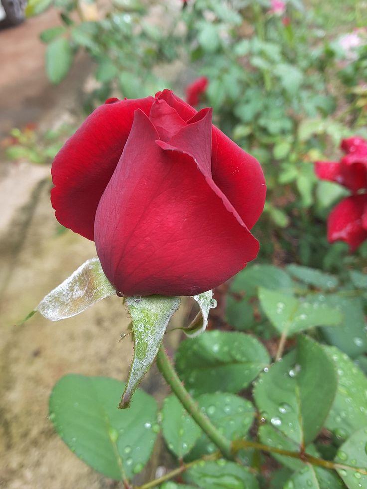 Rose, Rose Buds, Red Rose, Flowers, A Rose, Red, Garden