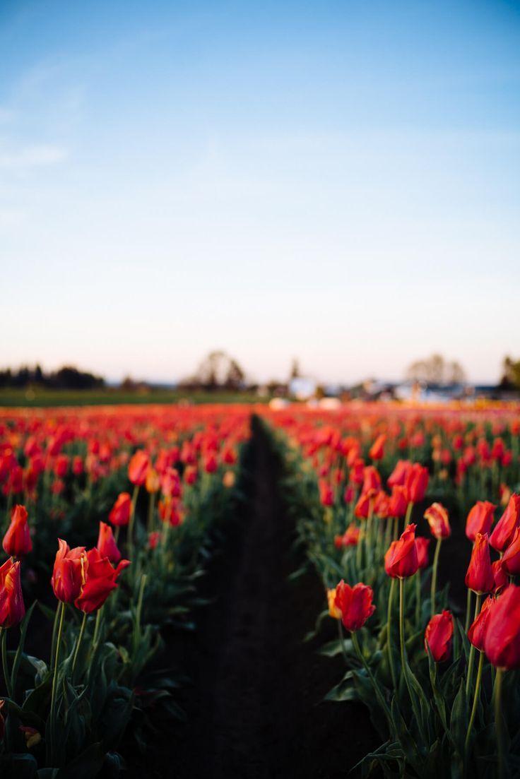 Visit The Wooden Shoe Tulip Farm Near Portland Oregon The Taste Sf Portland Restaurants Portland Tulips