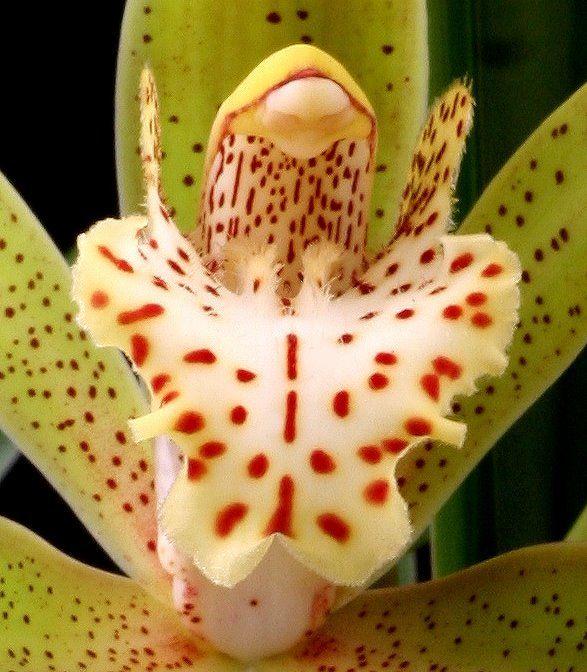 Flower-detail of Cymbidium rosefieldense