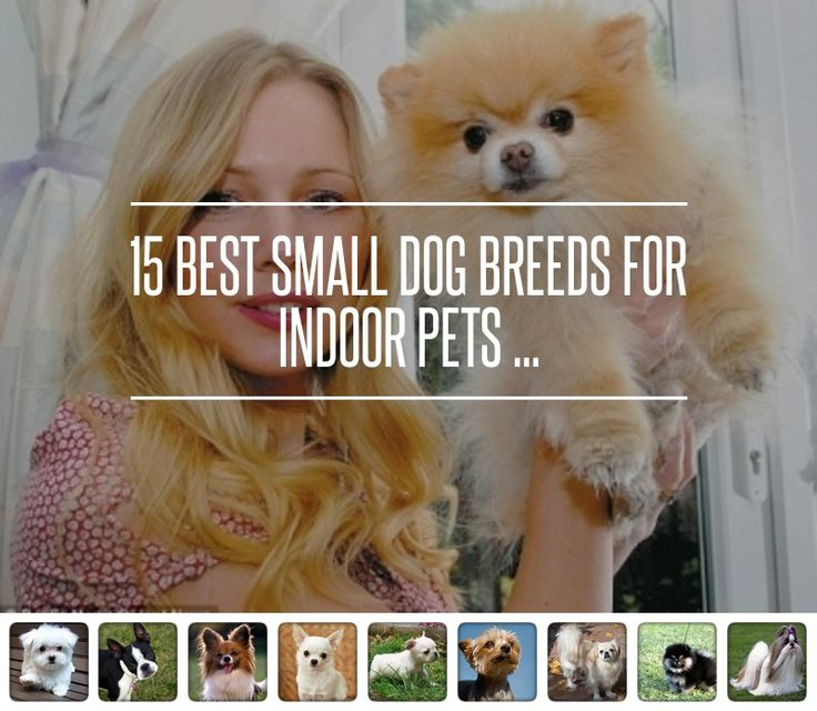 15. English Toy Spaniel - 15 Best Small Dog Breeds for Indoor Pets ... → Lifestyle