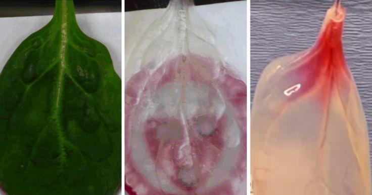 La ciencia transformó una hoja de espinaca en tejido humano