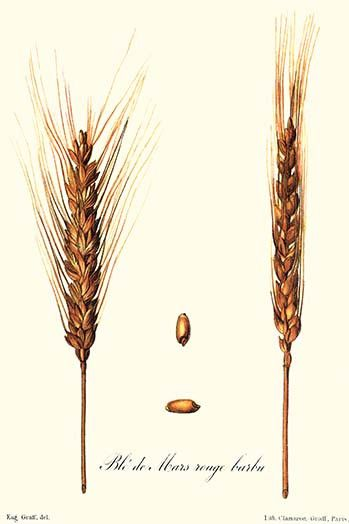 Illustration of wheat. High quality vintage art reproduction by Buyenlarge. One of many rare and wonderful images brought forward in time. I hope they bring you pleasure each and every time you look a