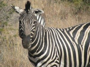 One of the many zebra spotted in the Pilanesberg. there are about 600 of them in the park