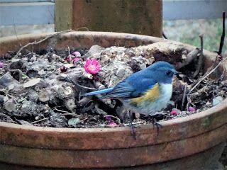 Yosikiのギャラリー       : 幸せの青い鳥(瑠璃ビタキ)が庭に