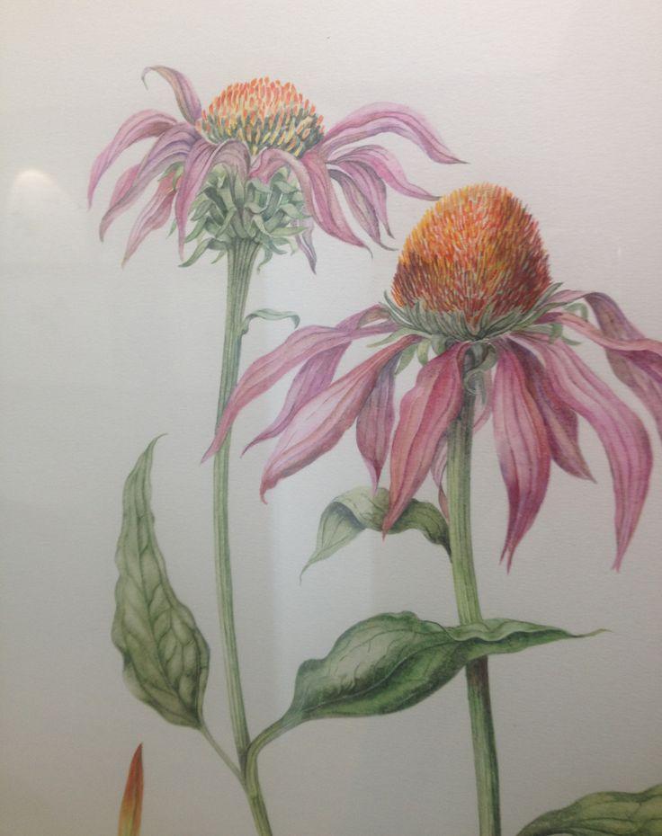 Echinacea purpurea painted by Barbara Clemence