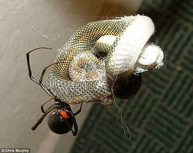 meanwhile in Australia spider eats snake