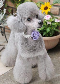 Poodle Puppy!   ハートイヤリング : ヘアスタイルカタログ | 犬の総合情報サイト「愛犬の友オンライン」|誠文堂新光社