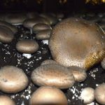 Propagating store bought mushrooms from the ends just requires a good fruiting medium, moisture and the proper growing environment. Click on this article to learn how to grow mushrooms from ends.