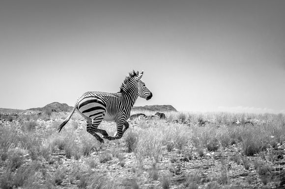 The Flying Zebra from Iona National Park in Angola is on National Geographic