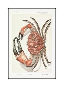 John James Wild-Tasmanian Giant Crab Pseudocarcinus gigas