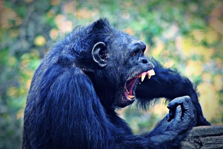 [FOTO] Simpanse at Gembira Loka Zoo - Jogja | NIKON D3000, f/5.6, exposure time 1/320 sec, ISO 1600, focal length 300 mm, no flash. PhotoScape