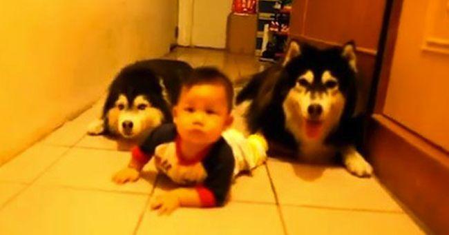 Due cani che imitano un neonato