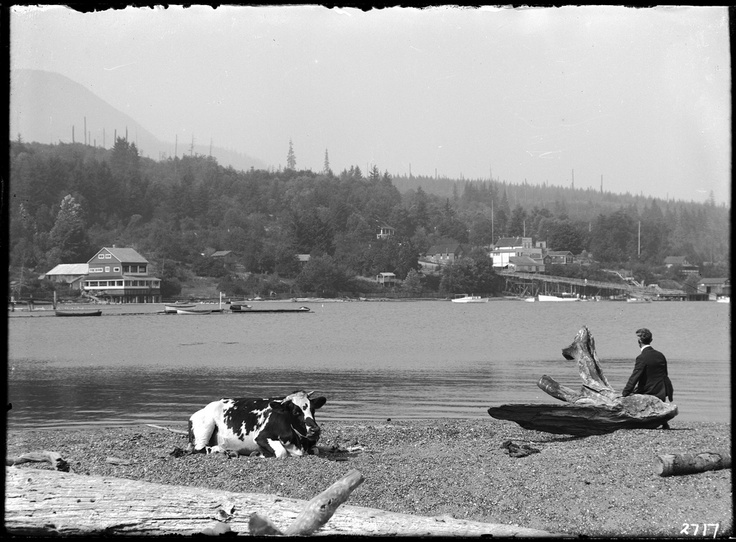 Man and cow on the beach, Gibsons, BC, date unknown. Philip Timms photograph