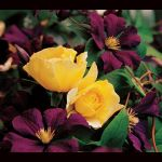 A duo that will adorn a fence, trellis, or tuteur with jewel-bright colors all summer long. 'Golden Showers' is one of a handful of climbing Roses good enough to win a seal of approval from the All-America Rose Selections®. This vigorous Rose produces sprays of fragrant, double flowers that open Daffodil yellow and soften to primrose. Deadheading encourages continued bloom, but we stop removing spent flowers late in the season to allow development of colorful hips to end the gardening...