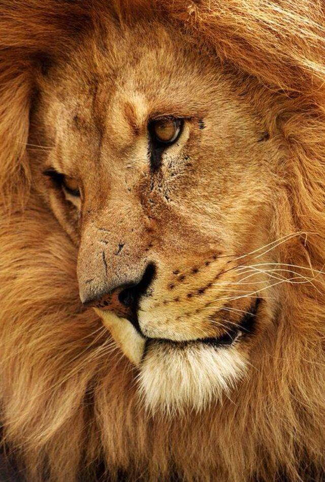 192 best Lion of Judah! images on Pinterest | Big cats ...