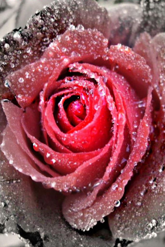 Best 25+ Red rose pictures ideas on Pinterest | Beautiful rose ...