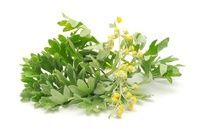 Piołun: właściwości lecznicze panieńskiego ziela
