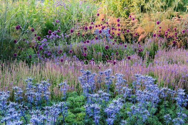 A summer border with Allium schoenoprasum, Eryngium bourgatii 'Picos Amethyst', Foenicum vulgare 'Purpureum' and Verbana bonariensis in the evening Location: RHS Hyde Hall