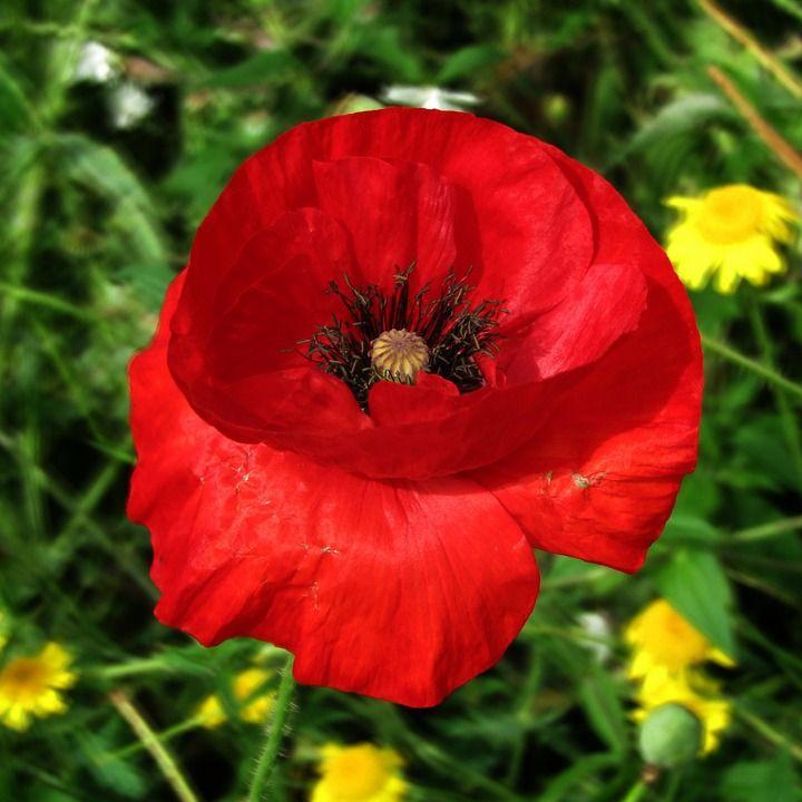 Free Image On Pixabay Poppy Blossom Bloom Red