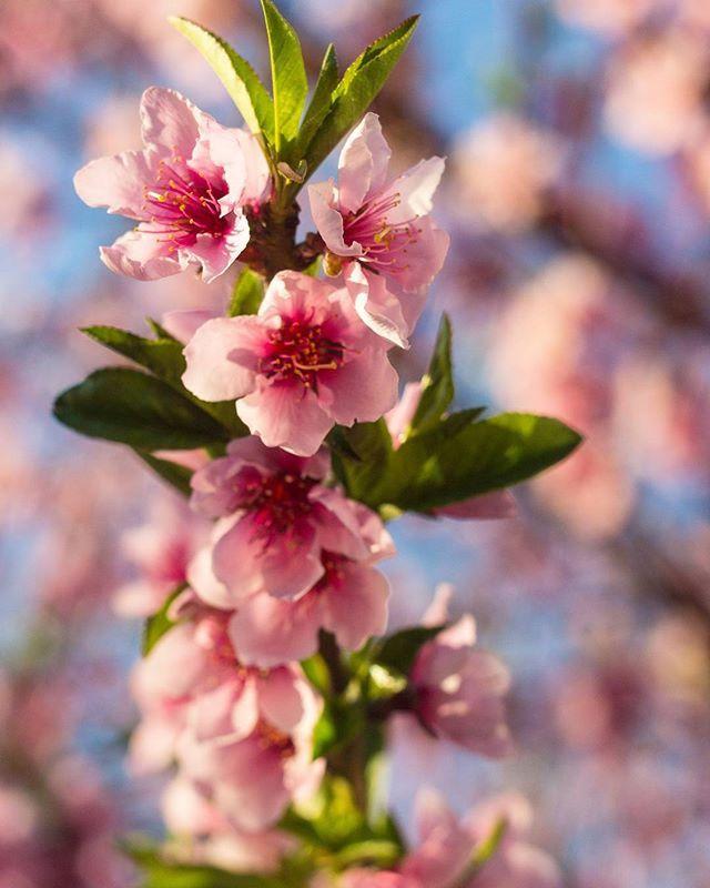 Prunus mume - prunus mume, plum tree santiago 2016