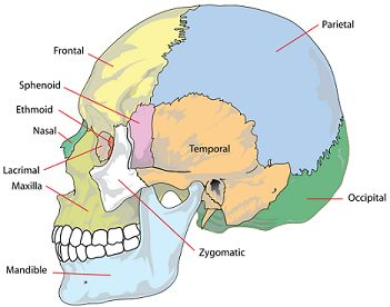 Parietal/Occipital region