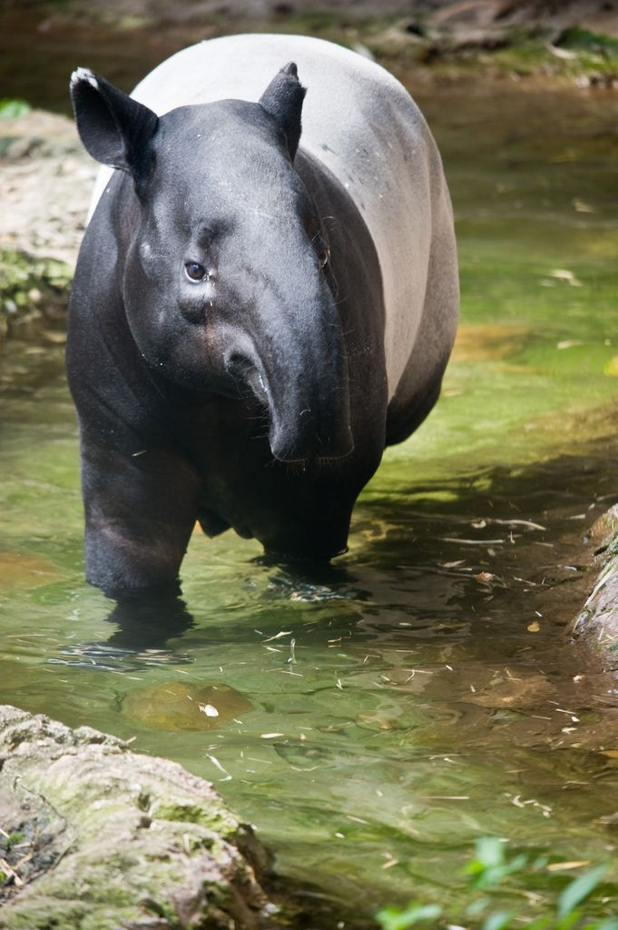 the hippopotamus endangered species report The common hippopotamus and the pygmy hippopotamus are the only two species of hippo that  while not endangered, hippos are a vulnerable species due to habitat.