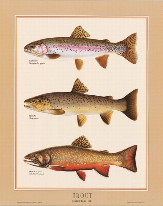 Trout identification chart freshwater fish charts for Freshwater fishing tips