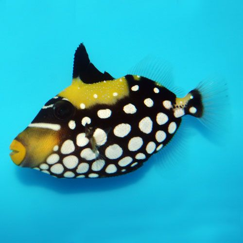 Clown Trigger Balistoides Conspicillum Small.  Saltwater fish, beautiful, but mean!