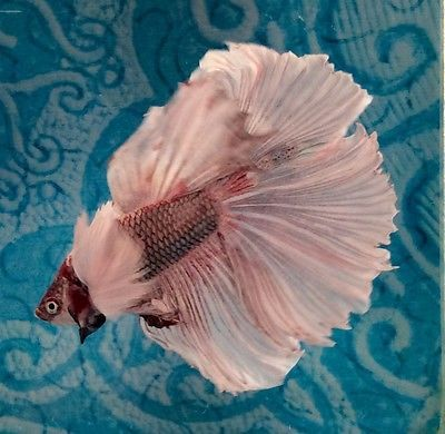 #13 Thai Import Fancy White Red Copper Male Dumbo Ears Halfmoon Betta Live Fish