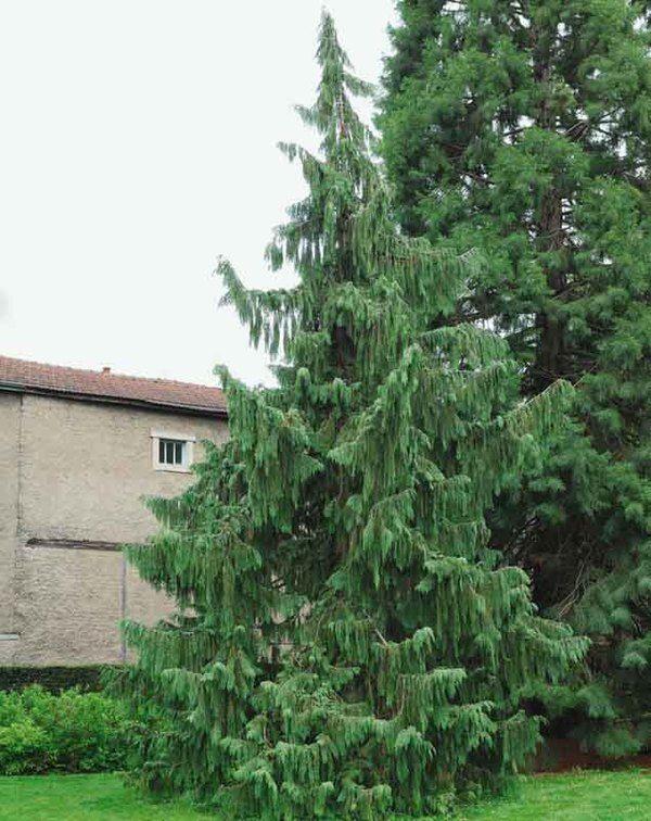 Chamaecyparis Nootkatensis Pendula Nootka Cypress Weeping