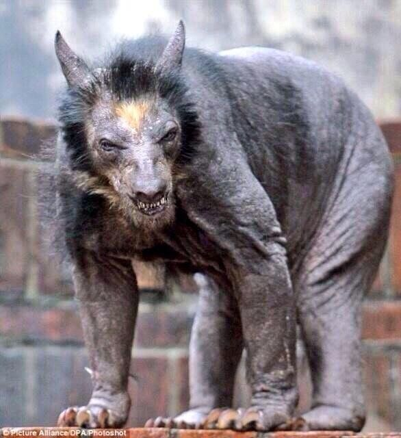 shaved bear - Google Search