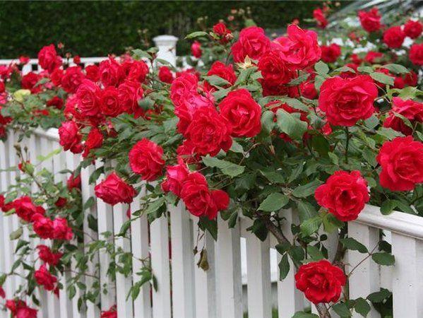Как правильно обрезать розы на зиму:. Обсуждение на LiveInternet - Российский Сервис Онлайн-Дневников