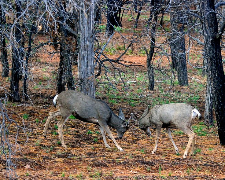 Bucks fighting inside the Grand Canyon right beside the road.  IMG_8327-01-cr28x10
