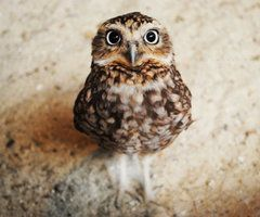 baby burrowing owls - Google Search | Zoontology ...