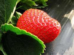How to Grow Strawberries in 10 Easy Steps.   I have 4 plants for 2 people. However this articles says I need about 10 per person....   Wow!