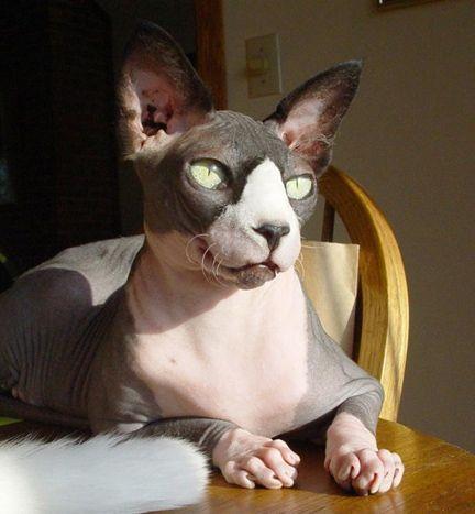 Rescue Sphynx Cats Ohio