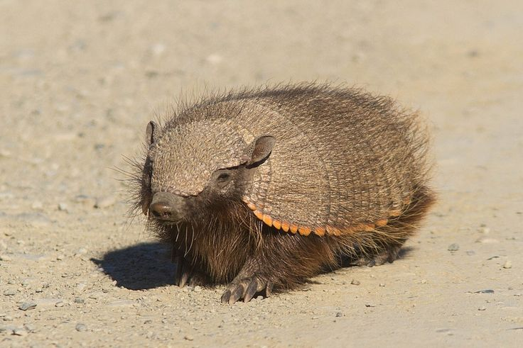 #Armadillo in #Patagonia #scurry #hurry #hairy #thing.
