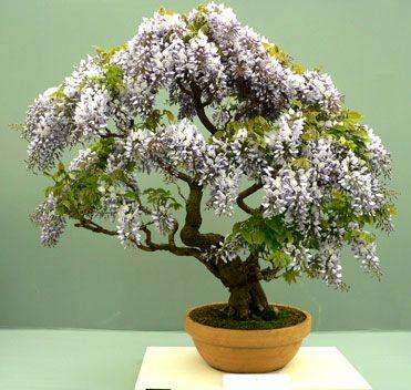 Glicinia bonsai                                                                                                                                                                                 Más