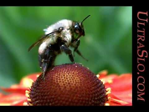 Bee in UltraSlo slow motion macro