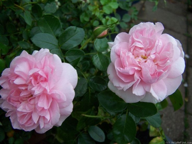 'Maid Amelie' Rose Photo