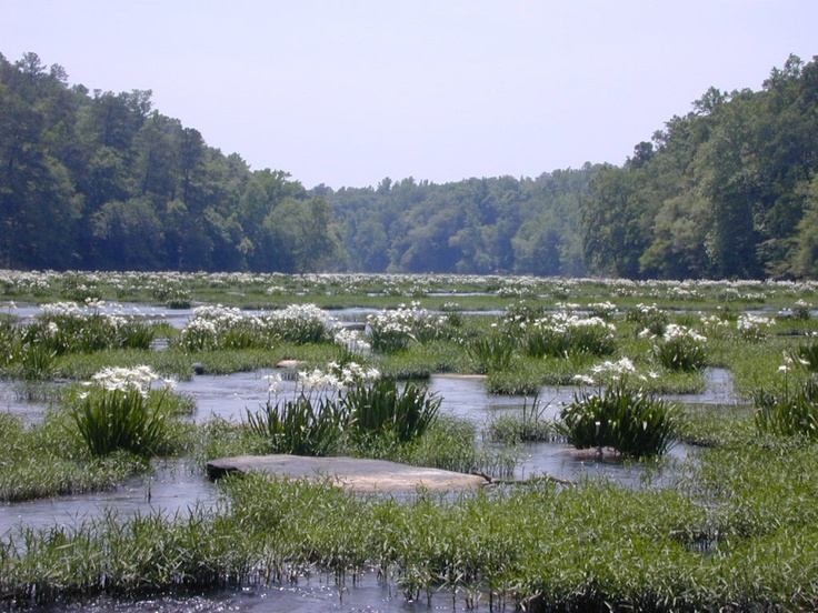 Cahaba Lilies in the Cahaba River south of Birmingham, AL