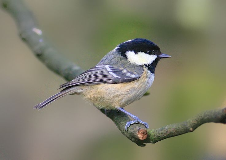 British Garden Birds Coal Tit Google Search My Garden