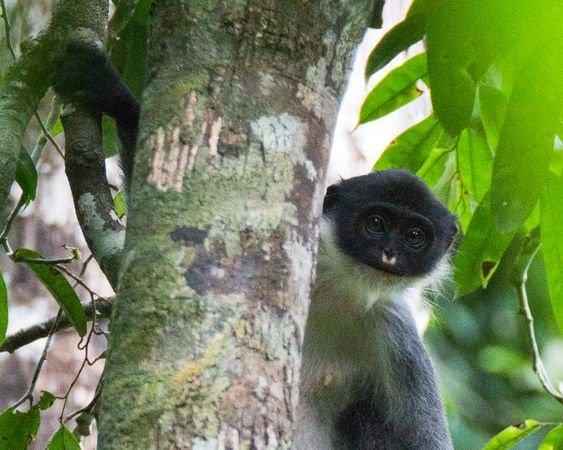 "A Miller's grizzled langur.  Feared extinct, the monkey species has been ""rediscovered"" on the Indonesian island of Borneo, a new study says."