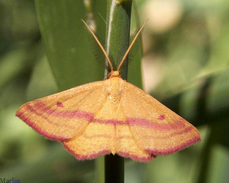 82 best moths images on pinterest   butterflies, animals and