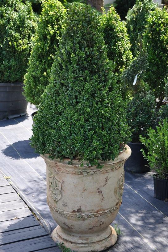 Best 25 Boxwood Planters Ideas On Pinterest Outdoor