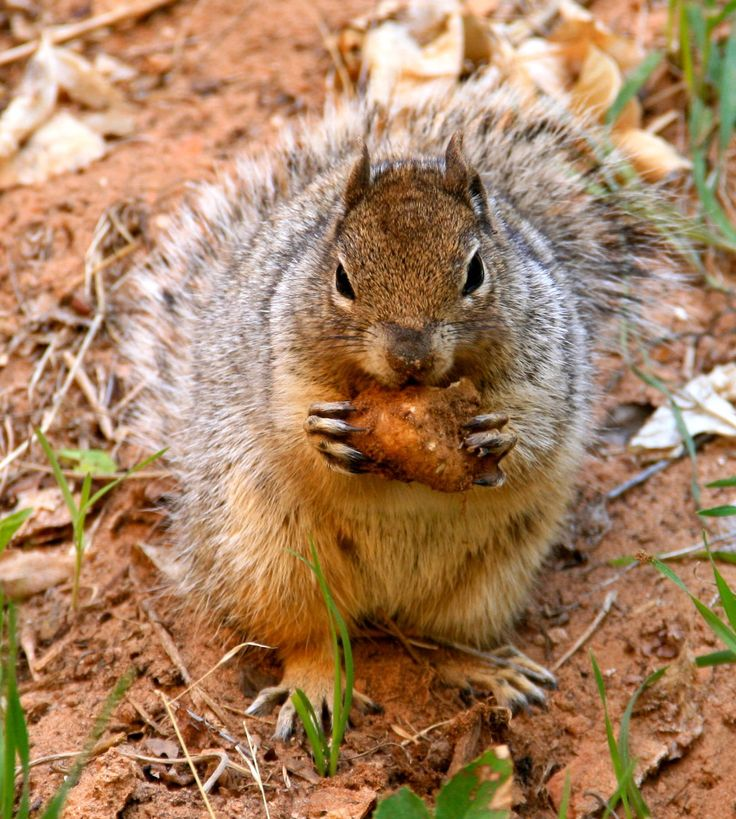 A squirrel enjoying a morning snack, Zion NP, Utah.