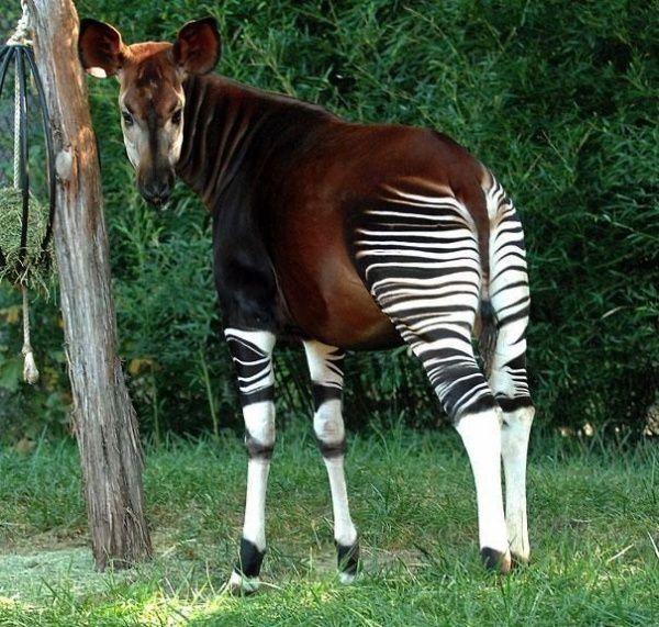 окапи больше напоминают лошадей, они относятся к семейству жирафовых.